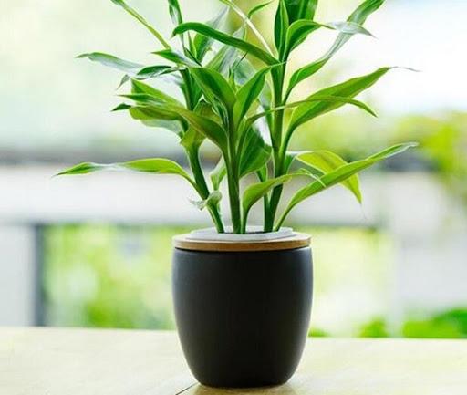 Cách trồng cây Trúc Phú Quý giúp cây tươi tốt, không vàng lá | Tài nguyên thực vật