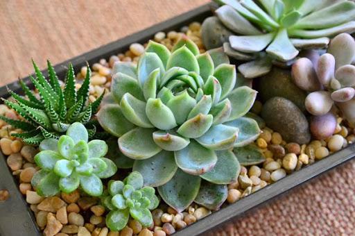 Hướng dẫn cách chăm sóc cây sen đá và ý nghĩa cây sen đá | Tài nguyên thực vật
